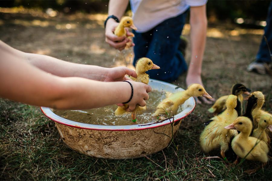 SP || Ducklings 1