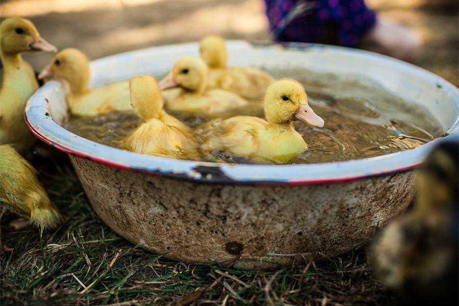 SP || Ducklings 2