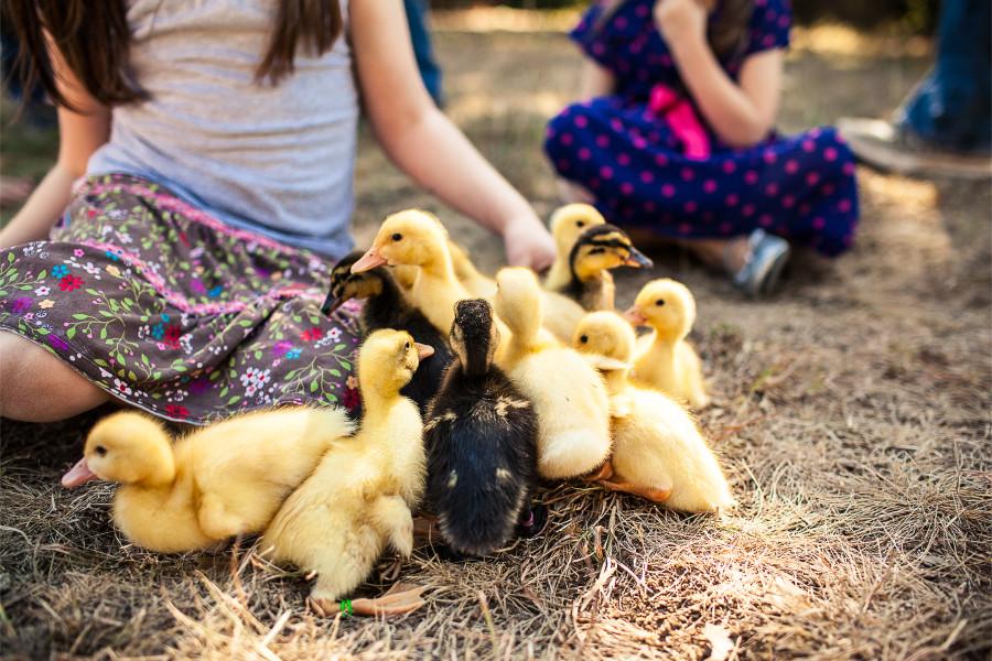 SP || Ducklings 6